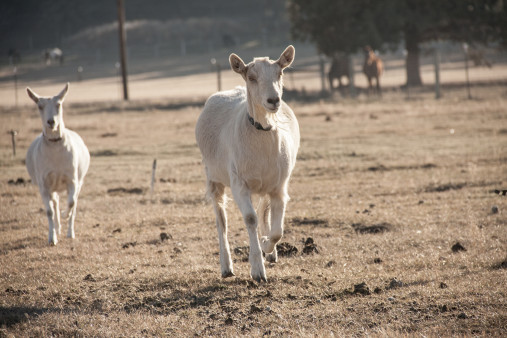 On Running from Goats (and Other Scary Things)