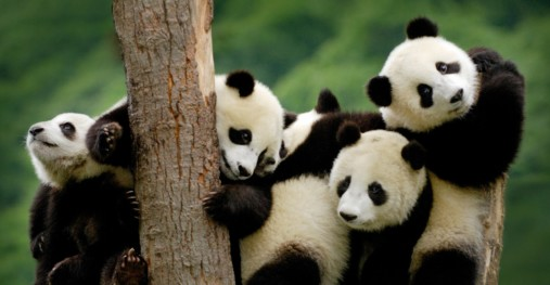 Pandas and Perspective