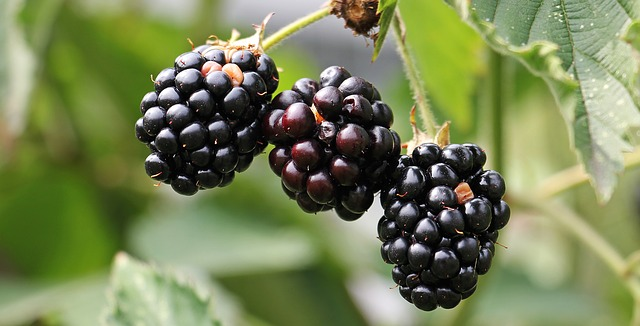 Blackberries: A Love Song