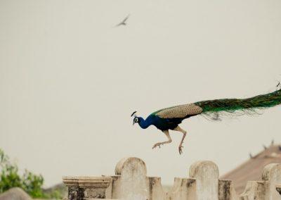 Peacocks in the Neighborhood