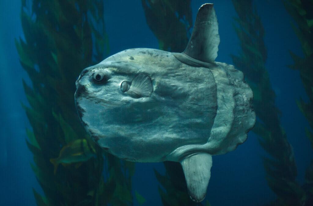 Holy Mola Mola