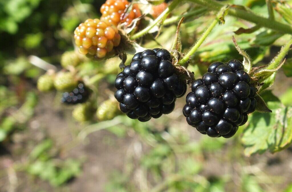 The Joy of Wild Berries